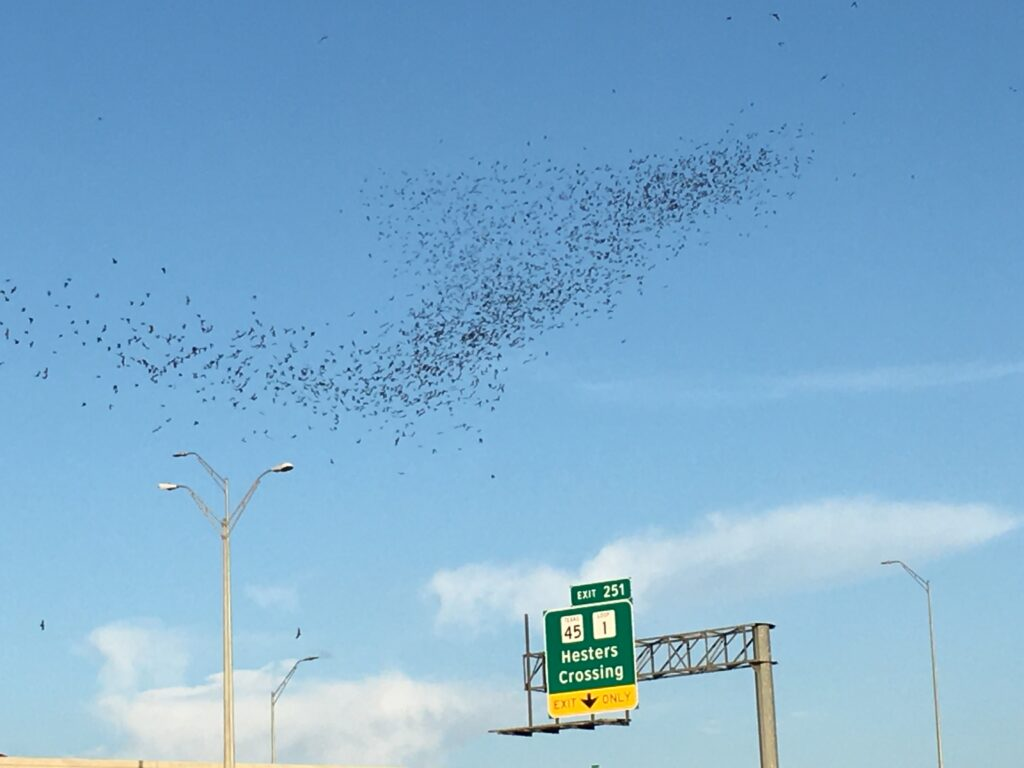 Round Rock's Birds of the Night // Bats In Round Rock, Texas